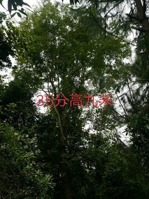 广西壮族自治区百色市右江区生货朴树