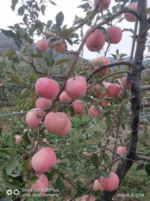 烟富10苹果苗 0.5~1米