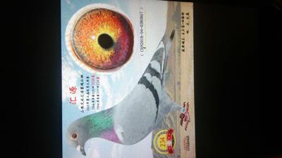山西省太原市万柏林区赛鸽 400-500克