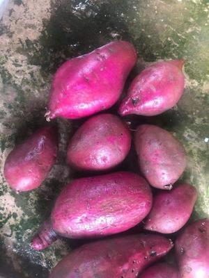 云南省昆明市盘龙区越南紫薯 3两~6两