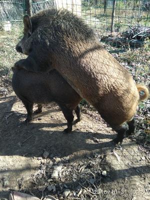陕西省商洛市洛南县生态野猪 30-40斤 统货