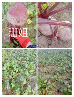 江苏省徐州市沛县红甜菜 15~20cm