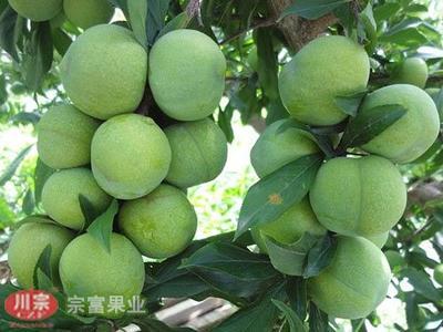 四川省成都市双流县蜂糖李苗