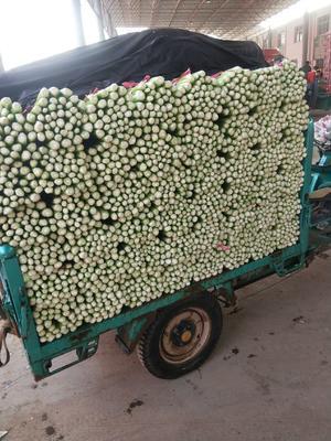 河北省邯郸市丛台区皇妃芹菜 55~60cm 大棚种植 0.5~1.0斤