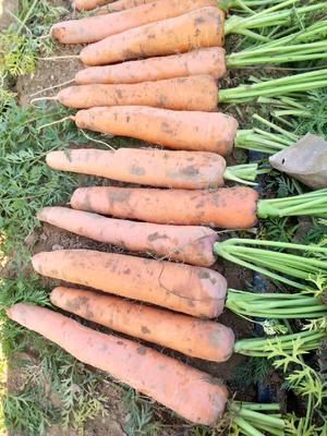 河南省开封市祥符区三红七寸参胡萝卜 15cm以上 2两以上 4~5cm