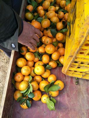 广西壮族自治区崇左市江州区沙糖桔 4.5 - 5cm 1两以下