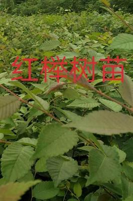 江苏省常州市金坛市红榉