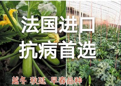 山东省潍坊市寿光市西葫芦种子