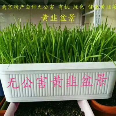 河北省邢台市南宫市黄韭 头茬 20~30cm