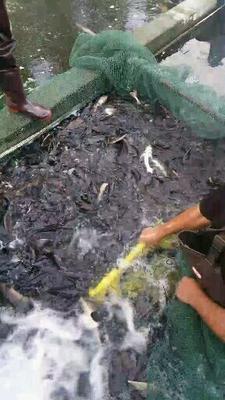 山东省潍坊市临朐县西杂鲟鱼 人工殖养 2-4公斤