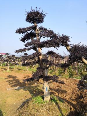 湖南省长沙市浏阳市造型红继木桩