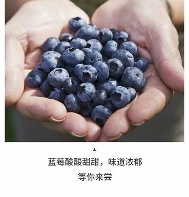 黑龙江省伊春市铁力市野生蓝莓 鲜果 10 - 12mm以上