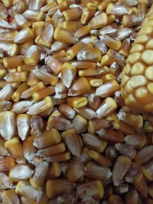 内蒙古自治区鄂尔多斯市达拉特旗玉米湿粮 霉变≤2% 净货