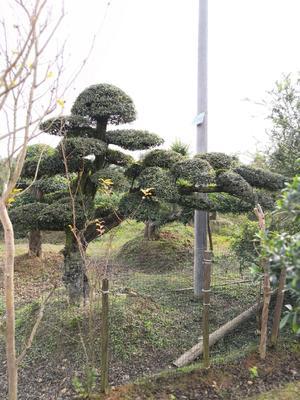湖南省长沙市浏阳市造型榆树