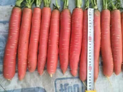 河南省商丘市民权县秤杆红萝卜 15cm以上 4两以上 4~5cm