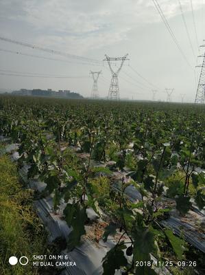 广东省茂名市茂南区紫长茄 30~40cm 长茄