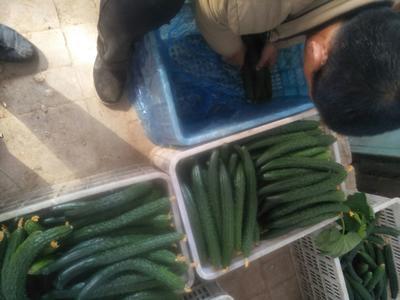 山西省临汾市曲沃县密刺黄瓜 18~22cm 干花带刺