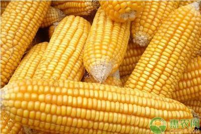 黑龙江省牡丹江市东宁县玉米干粮 霉变≤2% 净货