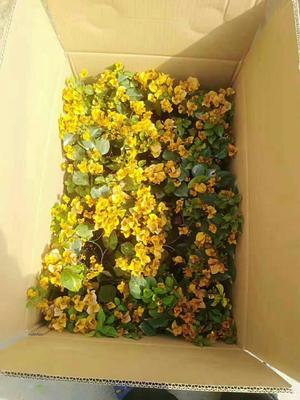 广东省广州市荔湾区柠檬黄三角梅 0.2米以下