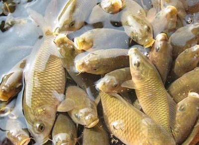 贵州省毕节市大方县池塘鲤鱼 人工养殖 1-2.5公斤