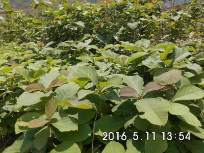 云南省保山市龙陵县柚木