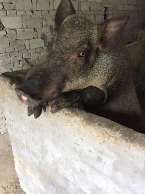 浙江省台州市温岭市商品野猪 100斤以上 统货