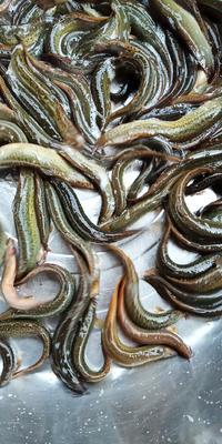 广东省中山市中山市台湾泥鳅 35尾/公斤 10-15cm 人工养殖