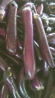 云南省西双版纳傣族自治州景洪市紫红茄霸王 30~40cm 长茄