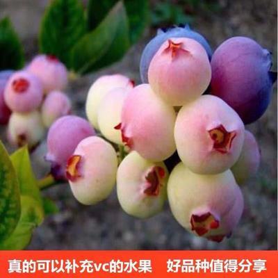这是一张关于兔眼蓝莓苗的产品图片