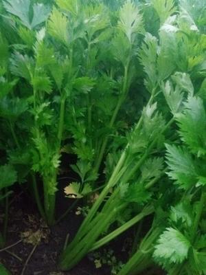 河南省驻马店市上蔡县西芹 60cm以上 大棚种植 0.5~1.0斤