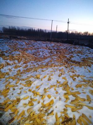 黑龙江省齐齐哈尔市富裕县玉米湿粮 霉变≤2% 杂质很少