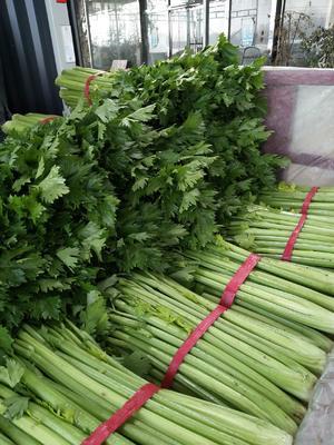 山东省滨州市阳信县法国皇后芹菜 60cm以上 大棚种植 0.5~1.0斤