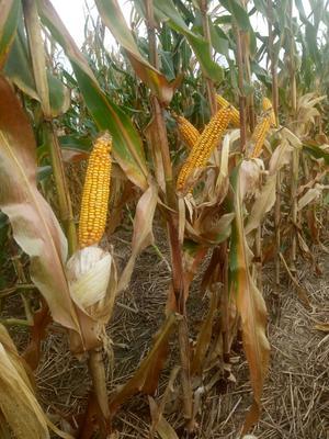 安徽省蚌埠市五河县玉米干粮 霉变≤1% 净货