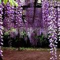 湖北省随州市广水市重瓣紫藤 1.5~2米 5公分以上