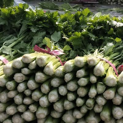 河北省邯郸市永年县西芹 60cm以上 大棚种植 0.5~1.0斤