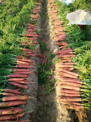 陕西省渭南市大荔县秤杆红萝卜 15cm以上 2两以上 3~4cm