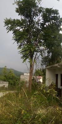 四川省南充市嘉陵区椿木