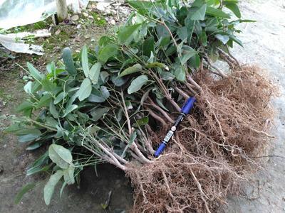 湖南省怀化市会同县天紫二号八月瓜 种植 150g以上