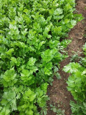 河南省漯河市召陵区西芹 40~45cm 大棚种植 0.5~1.0斤