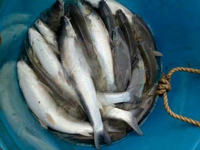 重庆合川区淡水银鳕鱼 人工养殖