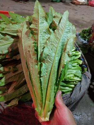 湖北省武汉市黄陂区美冠油麦菜 30~35cm以上