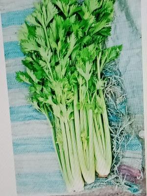 山西省运城市夏县美国文图拉芹菜 60cm以上 大棚种植 1.0~1.5斤