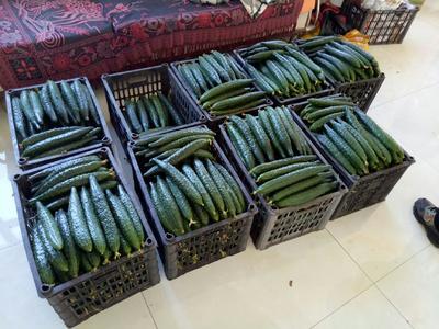 辽宁省葫芦岛市南票区密刺黄瓜 22~25cm 鲜花带刺