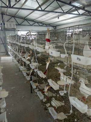 河南省开封市兰考县白鸽 500-600克