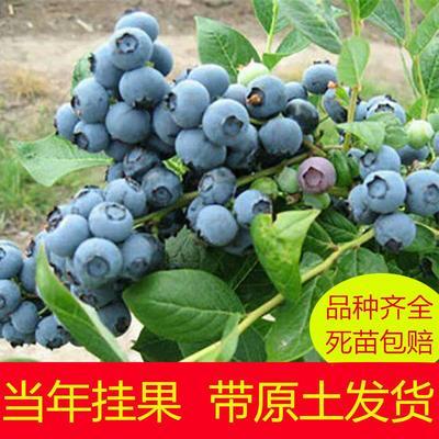 蓝丰蓝莓苗 三年苗 带花苞发货