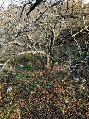 陕西省西安市临潼区造型石榴树