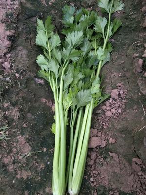 河南省开封市兰考县西芹 55~60cm 大棚种植 0.5~1.0斤