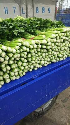 河南省安阳市滑县西芹 60cm以上 大棚种植 1.0~1.5斤