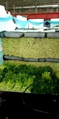 陕西省咸阳市三原县美国文图拉芹菜 60cm以上 大棚种植 0.5~1.0斤