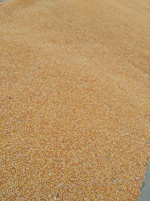 新疆维吾尔自治区塔城地区塔城市玉米湿粮 霉变≤1% 杂质很少